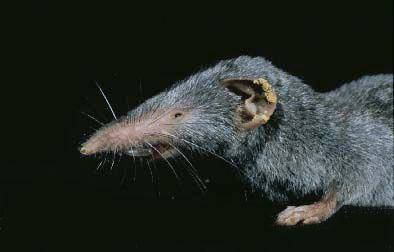 Asian house shrew animaldiversityorgcollectionscontributorsHeide