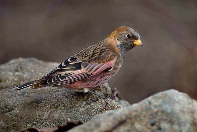 Asian rosy finch Oriental Bird Club Image Database Photographers