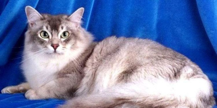 Asian Semi-longhair Asian Semilonghair breed information Pictures Kitten Price