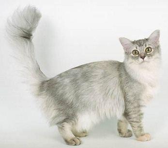 Asian Semi-longhair Asian Semilonghair Information Health Pictures amp Training Pet Paw