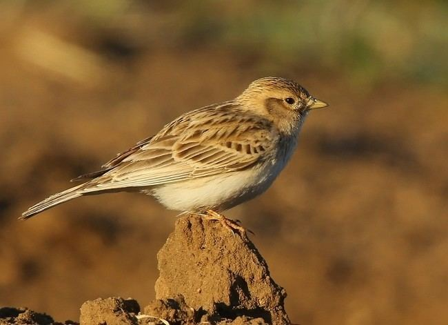 Asian short-toed lark Oriental Bird Club Image Database Photographers