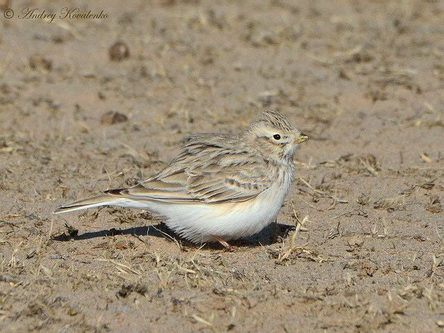 Asian short-toed lark wwwbirdskztaxons374fronpic1jpg