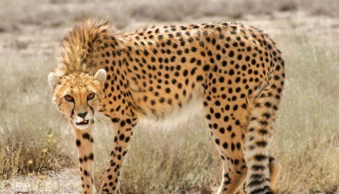 Asiatic cheetah - Alchetron, The Free Social Encyclopedia