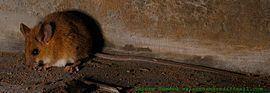 Asiatic long-tailed climbing mouse httpsuploadwikimediaorgwikipediacommonsthu