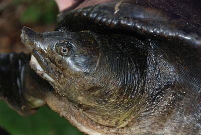 Asiatic softshell turtle By Species Turtle Survival Alliance TSA