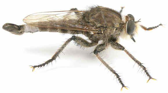 Asilidae Robber Flies Asilidae of Goodwell and Texhoma Texas Co OK