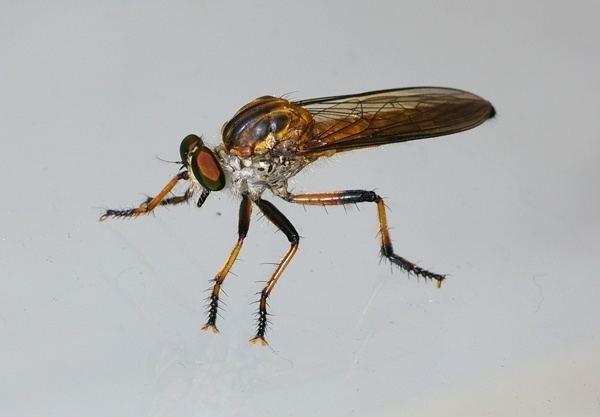 Asilidae Robber Fly Asilidae family