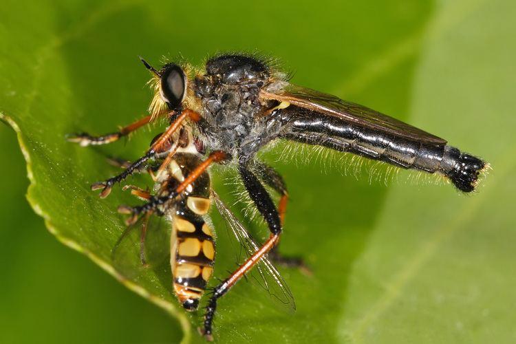 Asilidae Asilidae Wikipedia