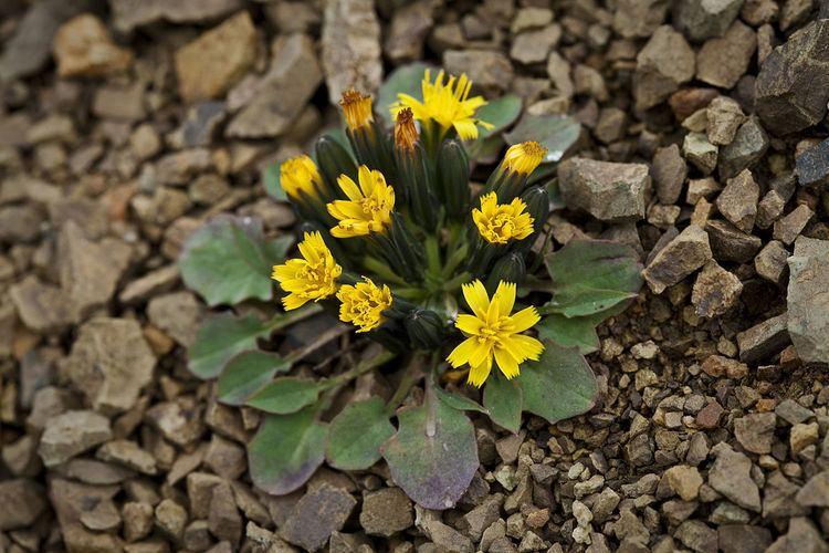 Askellia pygmaea