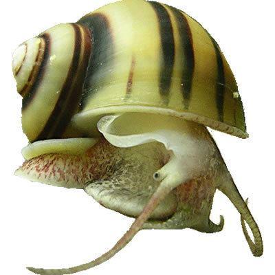 Asolene AQUA VITA Biotop akvaristika in teraristika Poglej temo Asolene