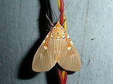 Asota ficus httpsuploadwikimediaorgwikipediacommonsthu