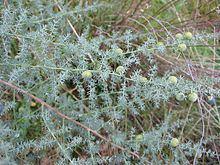 Asparagus acutifolius httpsuploadwikimediaorgwikipediacommonsthu