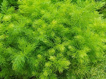 Asparagus racemosus Shatavari Asparagus racemosus Practical Uses Benefits and Dosage