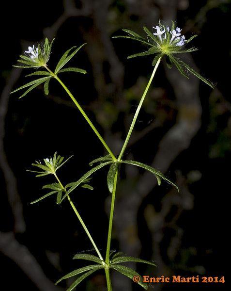 Asperula arvensis Rubiaceae Asperula arvensis Flores Silvestres del Mediterrneo