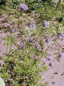 Asperula arvensis httpsuploadwikimediaorgwikipediacommonsthu