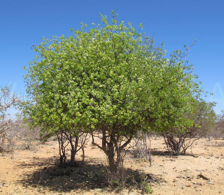 Aspidosperma VIRBOGA Aspidosperma pyrifolium