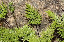 Aspidotis densa Aspidotis densa Wikipedia