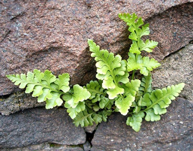 Asplenium adiantum-nigrum Black Spleenwort Asplenium adiantumnigrum NatureSpot