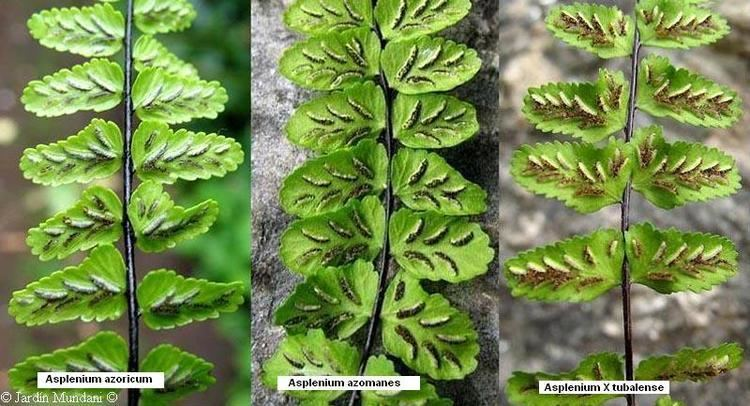 Asplenium azoricum Aspleniaceae Asplenium petrarchae fontanum onopteris billotii