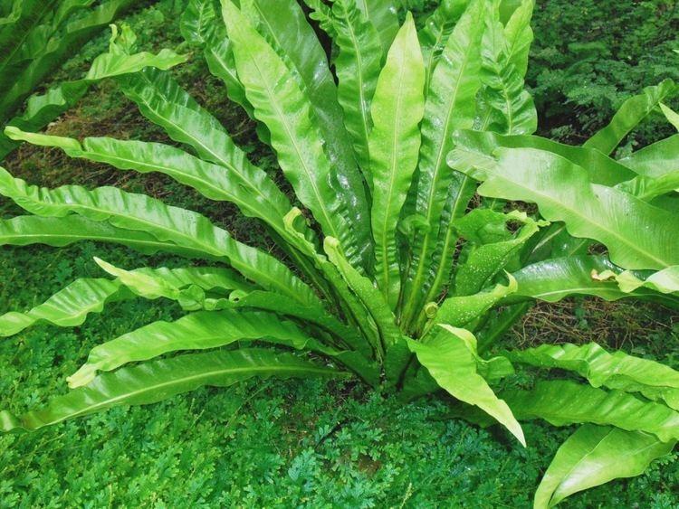 Asplenium nidus Growing Asplenium Nidus Ferns Bomets