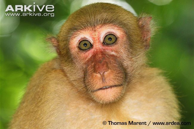 Assam macaque Assam macaque videos photos and facts Macaca assamensis ARKive