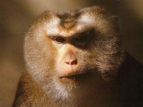 Assam macaque Monkeys of India India39s Endangered