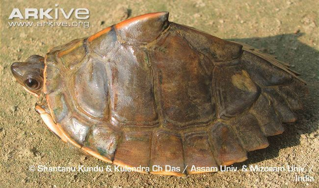 Assam Roofed Turtle Alchetron The Free Social Encyclopedia