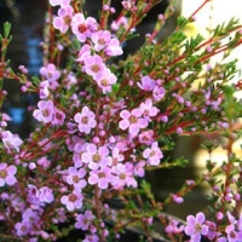 Astartea Buy Astartea Winter Pink Online Plants