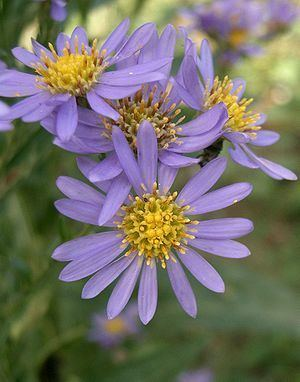 Aster tataricus Aster tataricus Wikibooks open books for an open world