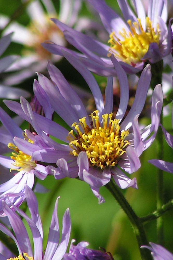 Aster tataricus Aster tataricus Tatarian aster Go Botany