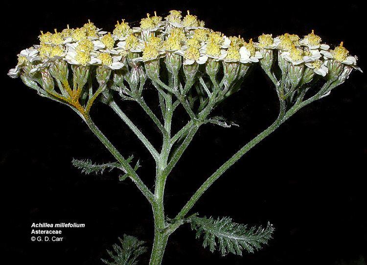 Asteraceae Flowering Plant Families UH Botany