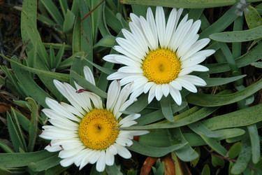 Asteraceae Asteraceae