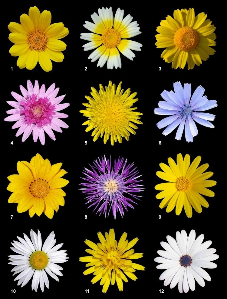 Asteraceae Asteraceae Wikipedia
