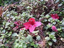 Asteranthera httpsuploadwikimediaorgwikipediacommonsthu