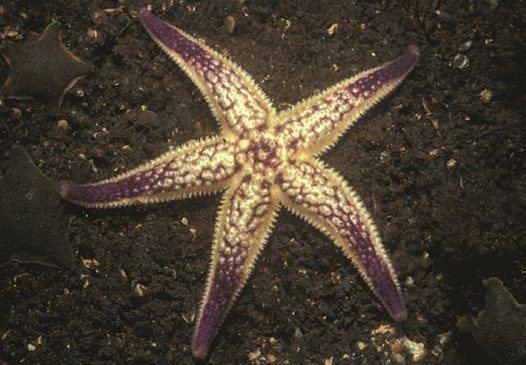 Asterias amurensis Asterias amurensis Northern Pacific seastar
