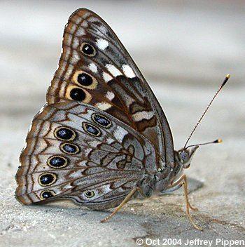 Asterocampa wwwjeffpippencombutterfliesempressleiliav0410