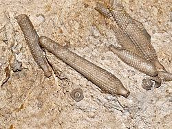 Asterocidaris httpsuploadwikimediaorgwikipediacommonsthu