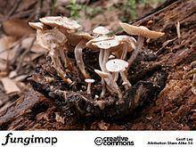 Asterophora mirabilis httpsuploadwikimediaorgwikipediacommonsthu