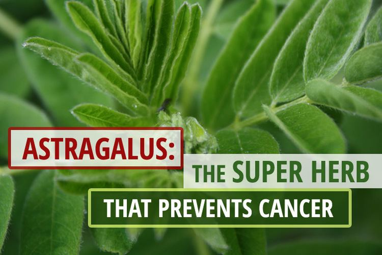 Astragalus Astragalus The Super Herb that Prevents Cancer