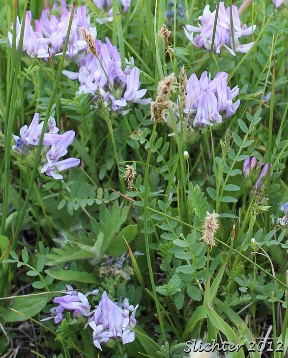 Astragalus agrestis Field Milkvetch Field Milkvetch Purple Milkvetch Purple Milk