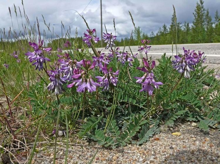 Astragalus alpinus Alpine Milkvetch Astragalus alpinus Flowers NatureGate