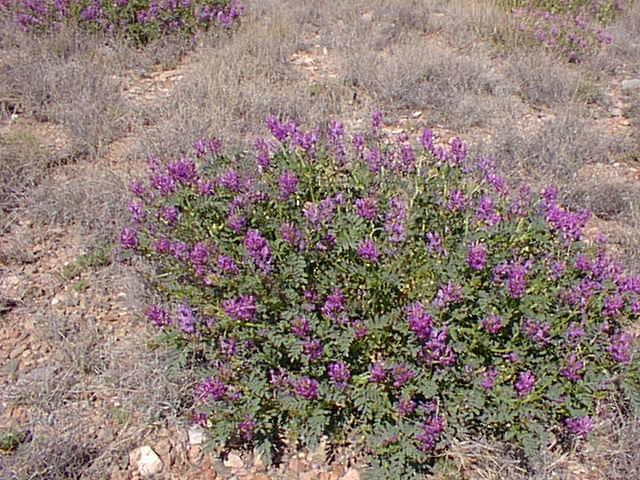 Astragalus lentiginosus Astragalus lentiginosus Sevilleta LTER