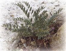 Astragalus molybdenus httpsuploadwikimediaorgwikipediacommonsthu