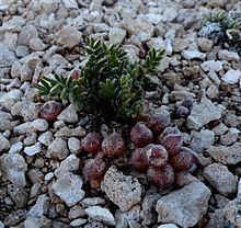 Astragalus montii httpsuploadwikimediaorgwikipediacommonsthu