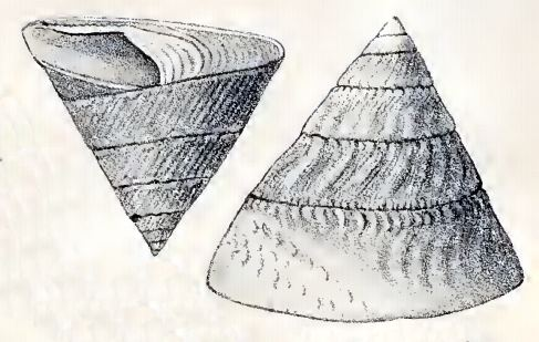 Astralium tentoriiforme