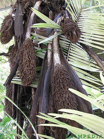 Astrocaryum murumuru Astrocaryum murumuru Palmpedia Palm Grower39s Guide