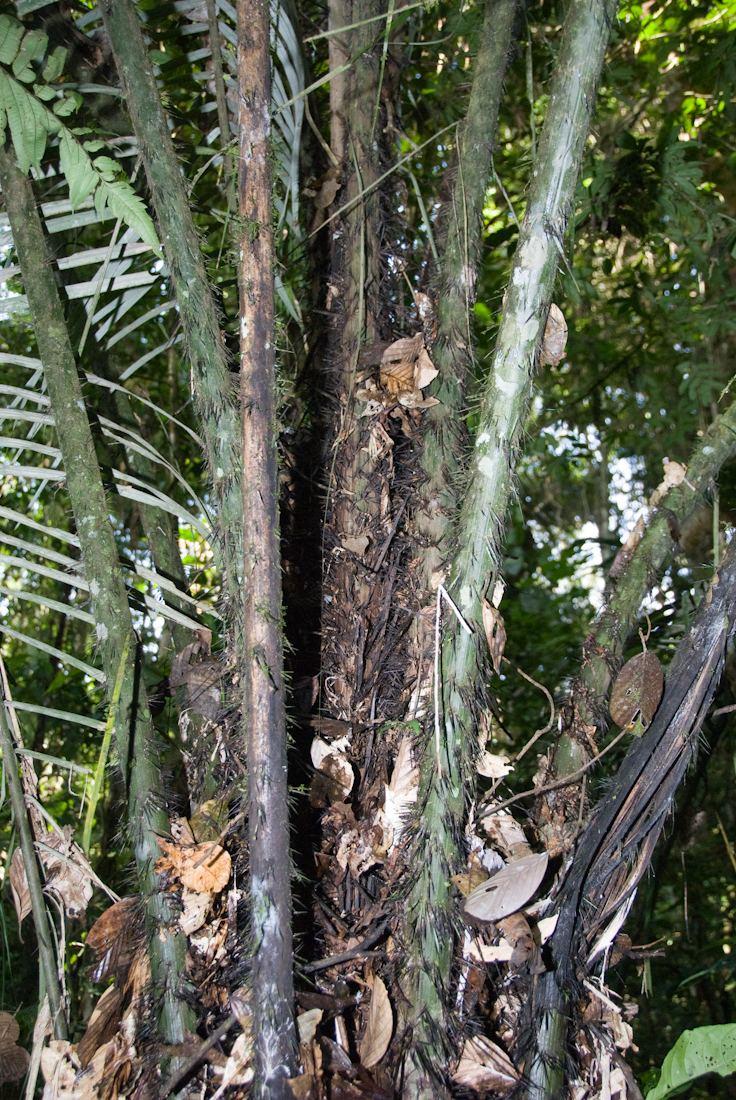 Astrocaryum murumuru palmworldorg Astrocaryum murumuru