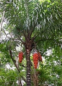 Astrocaryum standleyanum Astrocaryum standleyanum Palmpedia Palm Grower39s Guide