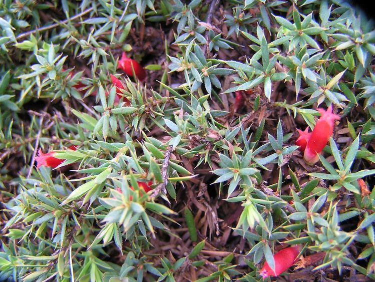 Astroloma humifusum Astroloma humifusum This matforming shrub has bright dar Flickr
