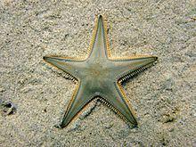 Astropecten jonstoni httpsuploadwikimediaorgwikipediacommonsthu